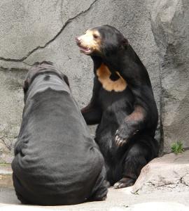 Интересные факты о малайских медведях