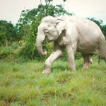 Слон альбинос