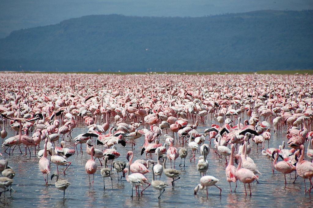 Колония фламинго на озере Накуру