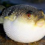 Интересные факты о фугу