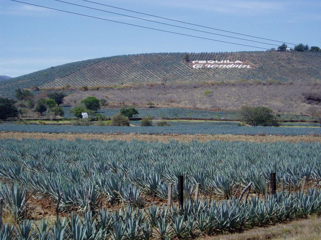 Выращивание агавы для производства текилы