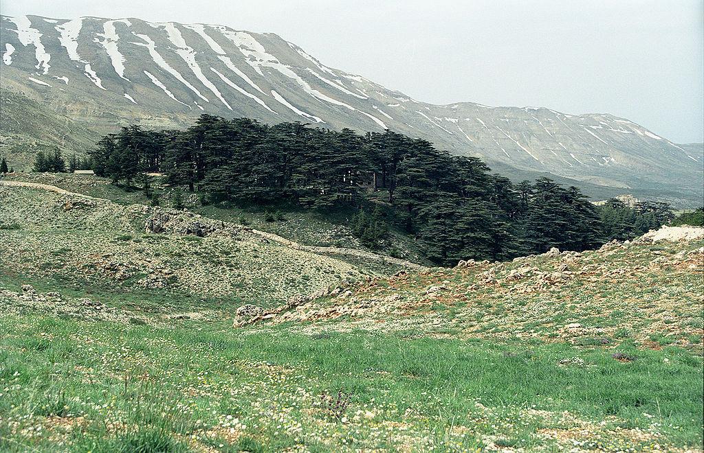 Божественный кедровый лес