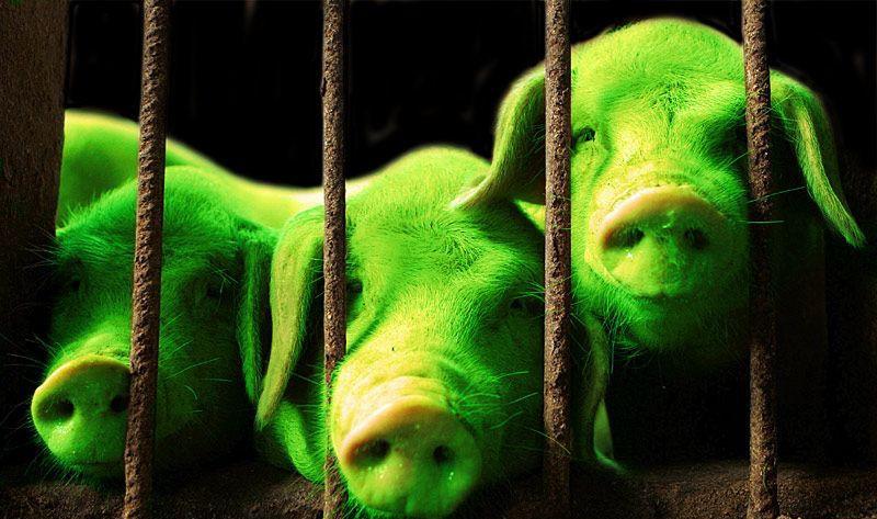 Зелёные поросята, трансгенные поросята