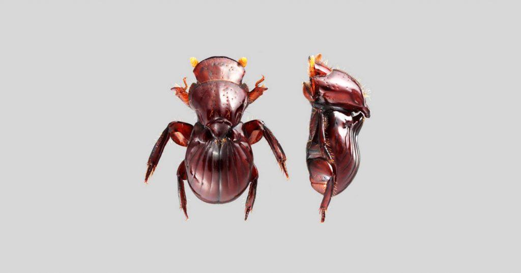 Eocorythoderus incredibilis