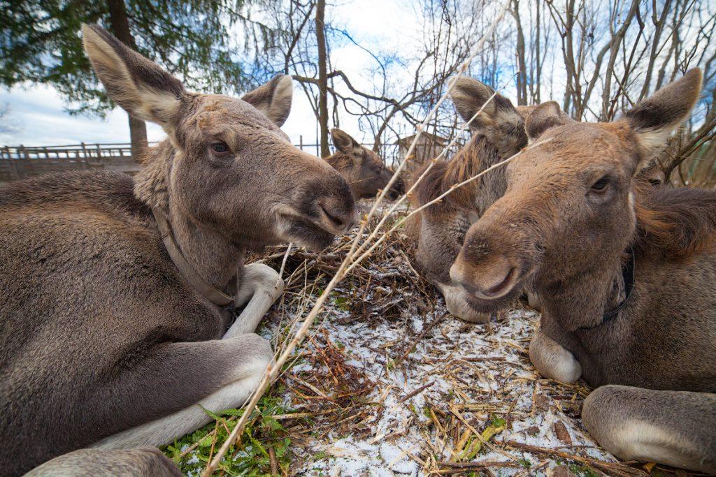 Животные на лосеферме под Костромой