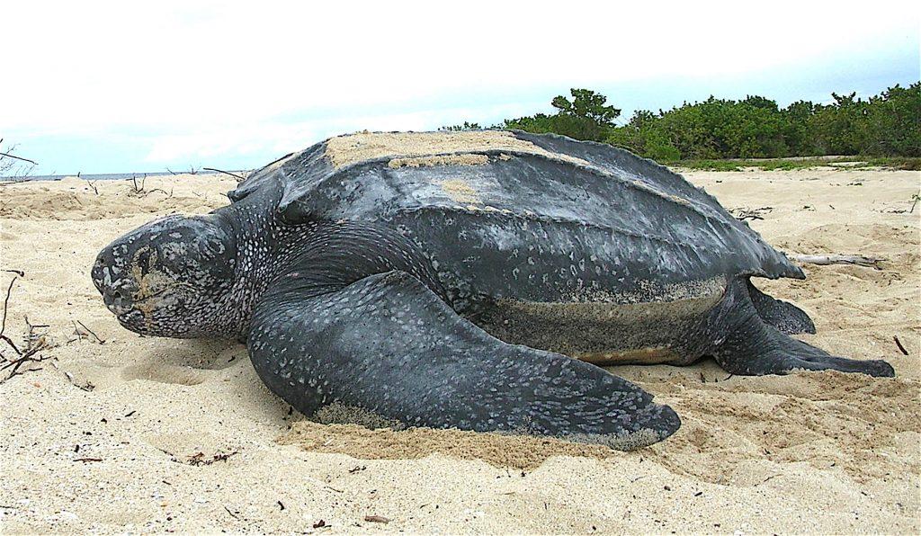Тринидад и Тобаго является главным местом гнездованиякожистых черепах.